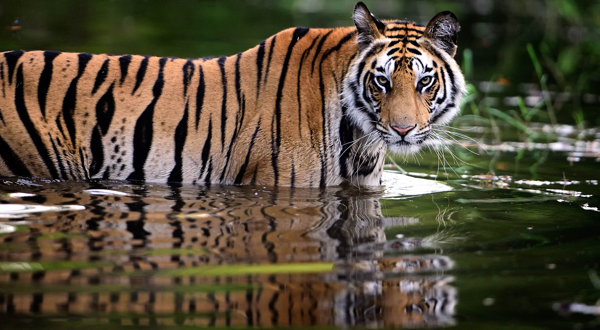 Answer the Call of the Wild with the Best Tiger Safaris in India