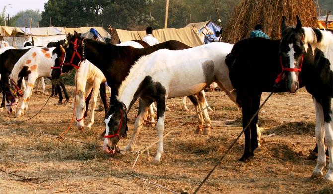 Bateshwar Horses