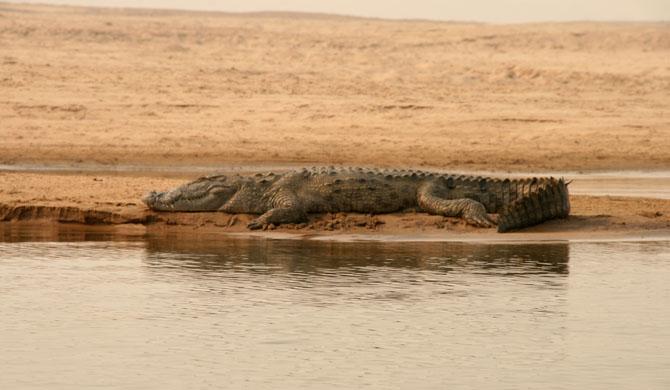 Chambal Crocodiles