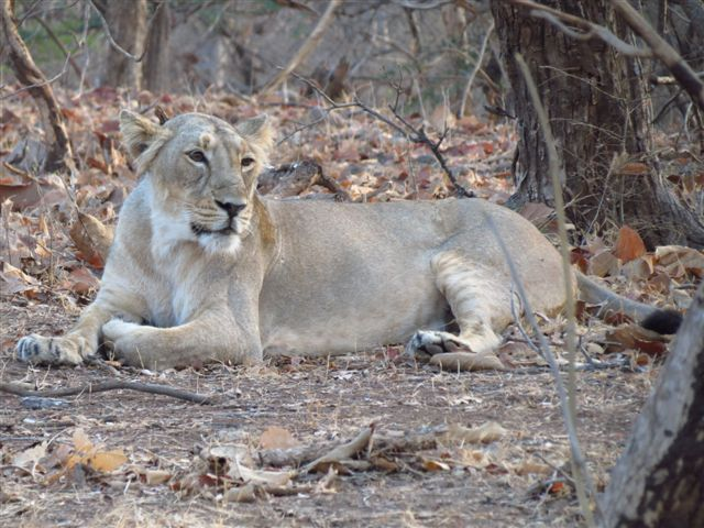 Lion in Gir, Gujarat-exclusive home to Asiatic Lions