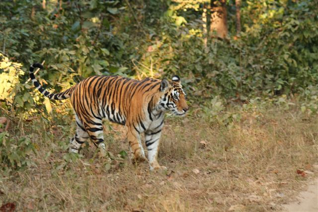 Tiger tourism in India